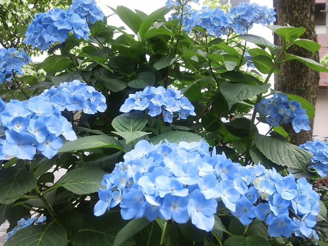 恵比寿 紫陽花